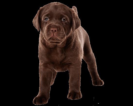 Complete perro cachorro raza grande