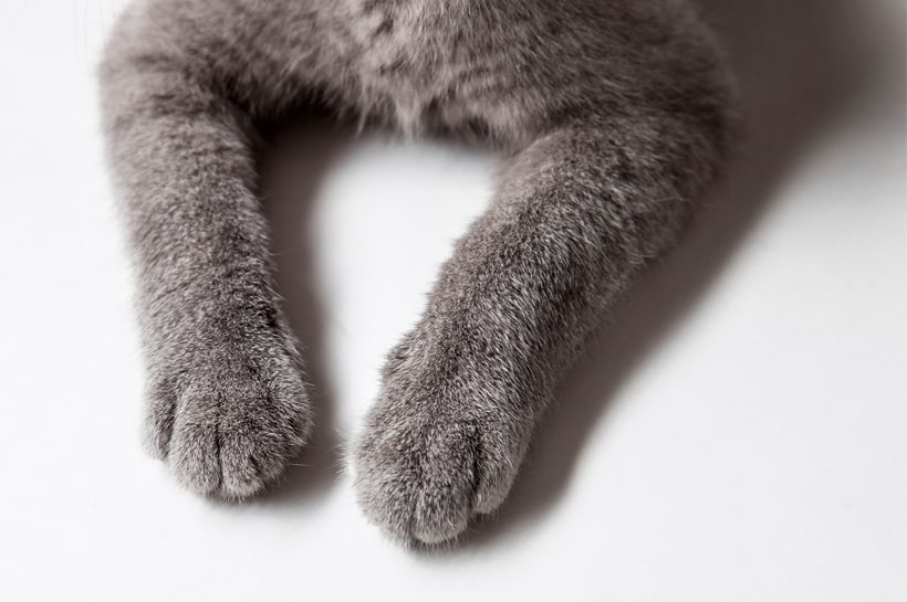 Bartonellosis: enfermedad por arañazo de gato
