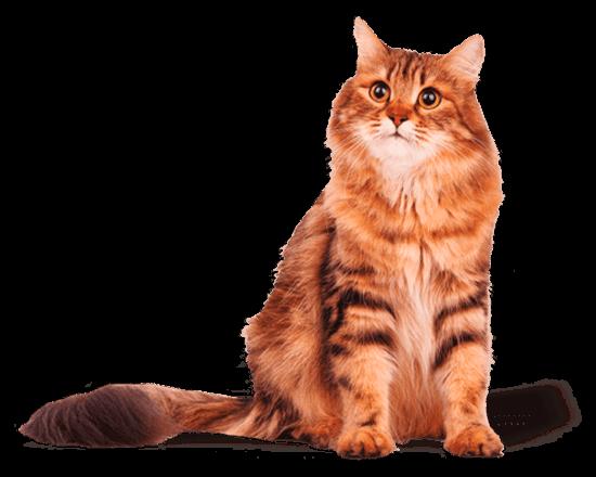 Belcat gato adulto