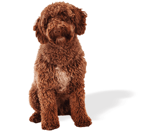 Belcan perro adulto