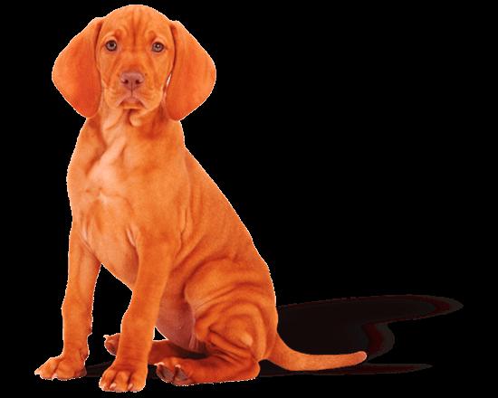 Belcan - Perro Cachorro