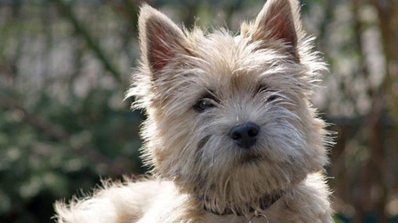 Cairn Terrier: siempre listos para la acción