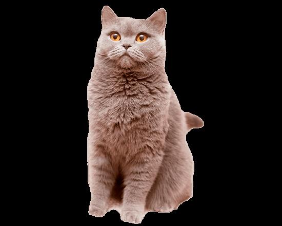 Therapy gato obesity