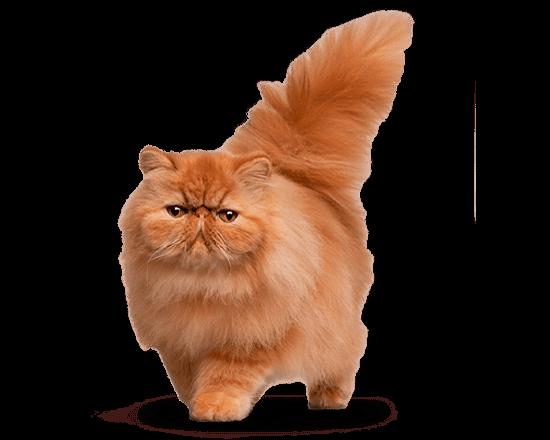 Therapy gato renal